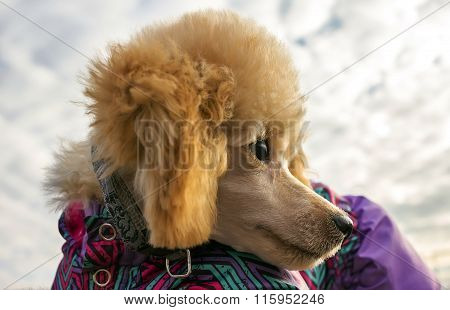 Poodle Puppy With Clothes, Looked Back. Pet