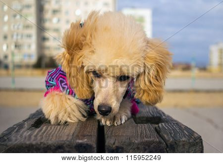 Puppy Of A Poodle, Rest Lying On A Wooden Beam. Dpet