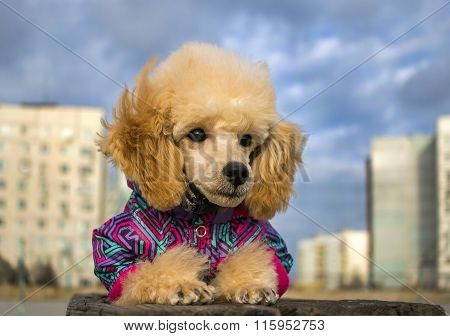 Cute Poodle Puppy In Winter Clothes, On A Wooden Surface