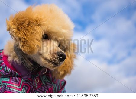 Poodle Puppy , Against The Sky With Clouds.pet