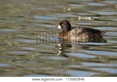 Female Scaup Duck Swimming In The Still Pond Waters