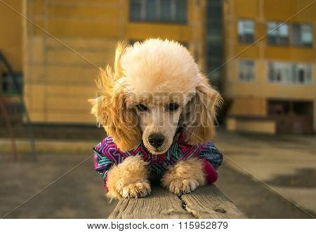 Happy Puppy Poodle In Winter Clothes, Watches Lying