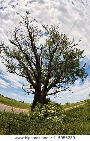 Solitary oak tree by road