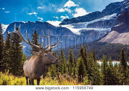 Magnificent red deer antlered on the hillside. Canada, Rocky Mountains