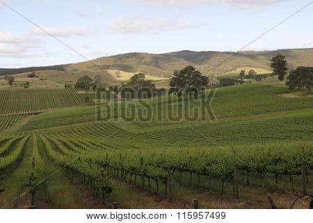 Vineyard Spring Landscape