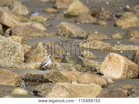 Dunlin Among Rocks