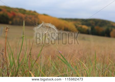 Dandelion in Sleeping Bear Dunes