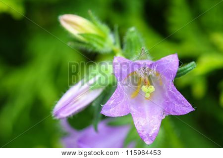 Selective focus of purple Nettle-leaved Bellflower Campanula trachelium in the garden