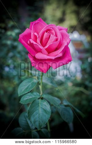 Vintage Style Of Rose Flower In The Garden