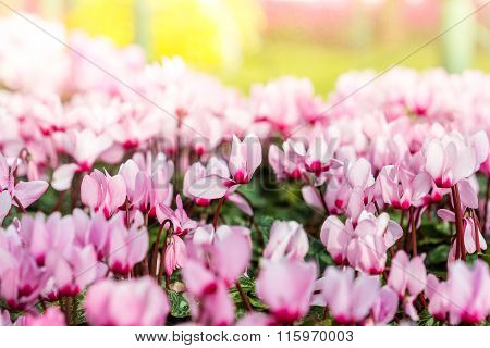 Close Up Of Colorful Variegated Cyclamen Flowers