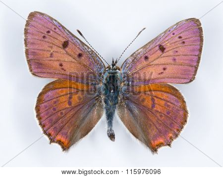 Purple-shot Copper Lycaena Alciphron Butterfly On White