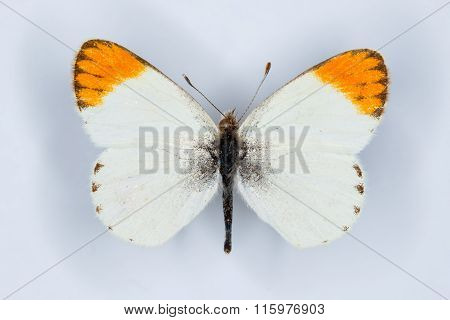Desert Orange Tip, Small Orange Tip Or Tiny Orange Tip  Butterflies Colotis Evagore