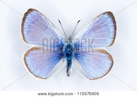 Green-underside Blue, Glaucopsyche Alexis Butterflies