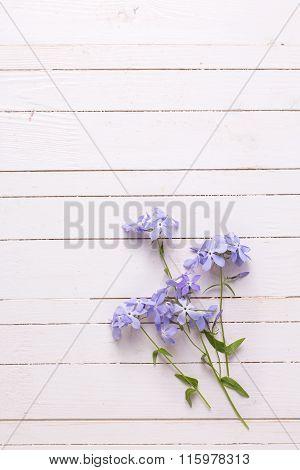 Tender Blue Flowers On White Painted Wooden Planks.
