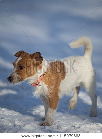 Cute White Brown Jack Russell Terrier Dog Walking on a Snow