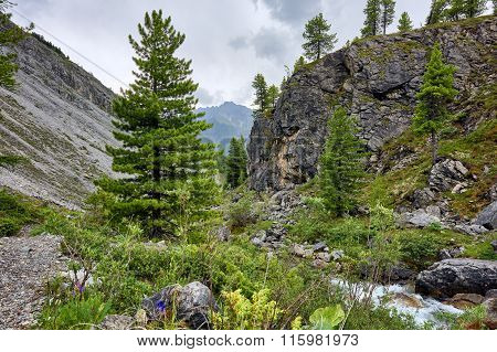 Young Siberian Pine In The Valley Of The Mountain Brook