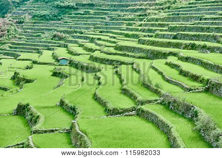 banaue batad rice paddy terrace fields