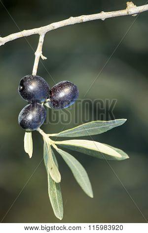 Three Mature Black Olives On A Spring