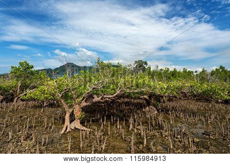 Mangrove Tree North Sulawesi, Indonesia