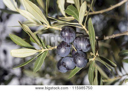 A Sprig Full Of Ripe Black Olives