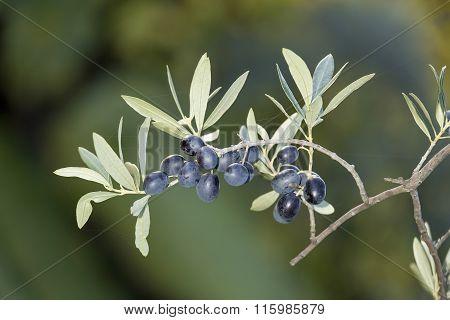 Sprig With Mature Black Olives