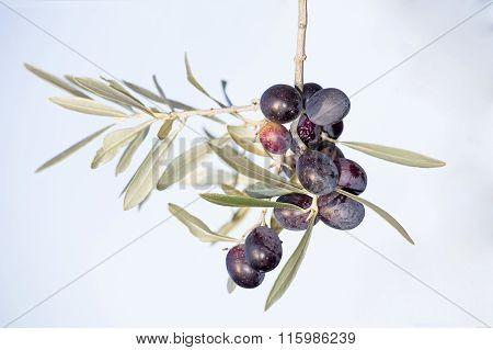 Ripe Black Olives On A Spring