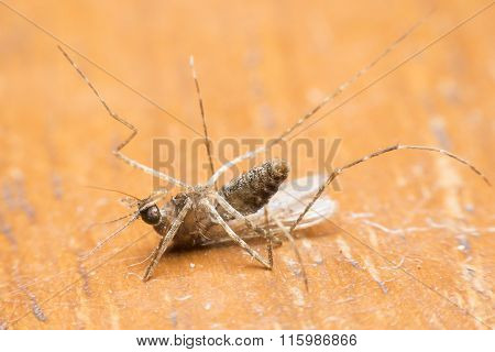 Mosquito Drinks Blood Out Of Man. Mosquito Causing Dengue Fever And Malaria.