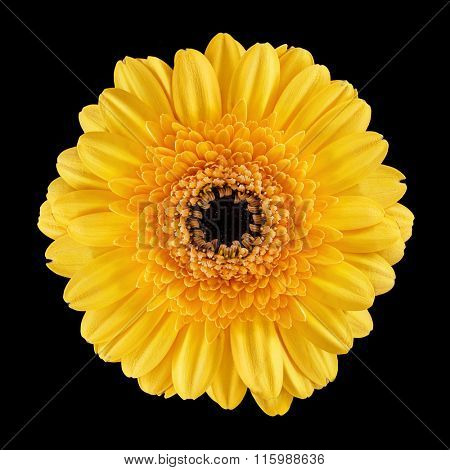 Blossom of a Gerbera with yellow petals over black background