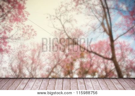 Wild Himalayan, Beautiful Cherry Blossoms In Blue Skt At Chiangmai Thailand