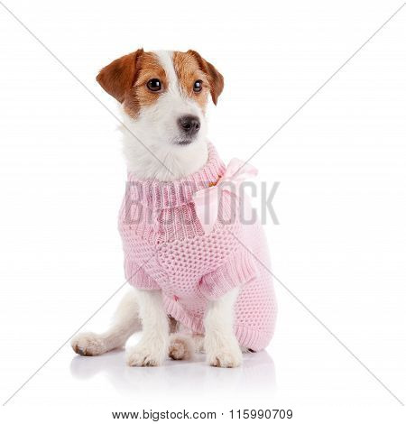 The Small Doggie Of Breed A Jack Russell Terrier In A Pink Jumper