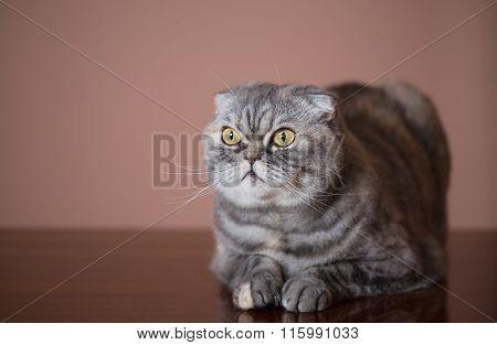 Cat Breed Of Scottish Fold.