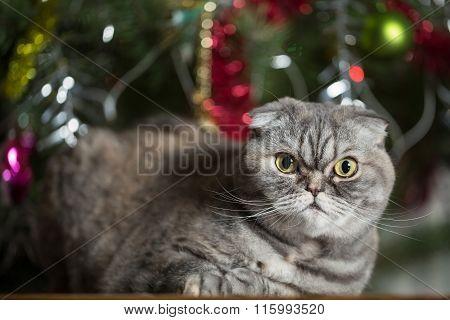 Scottish Fold On Background Of Christmas Tree.