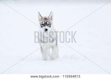 Portrait Of A Husky Puppy