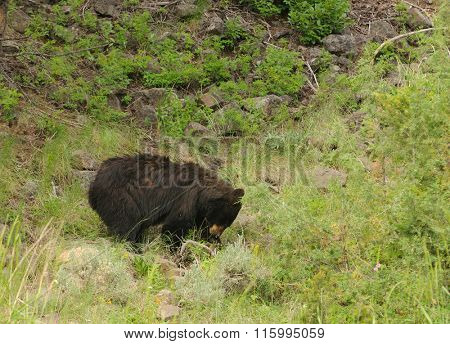Black bear (ursus Americanus) sow in Yellowstone National Park
