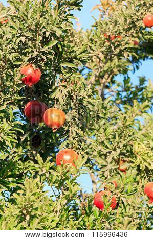 Bunch Ripe Pomegranates On A Tree