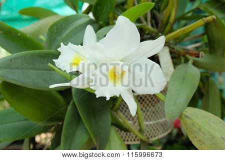 White Flower Cattleya Orchids, Queen Of Orchids