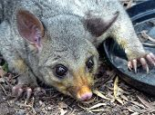 stock photo of possum  - possum in the garden brisbane queensland australia - JPG
