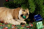 stock photo of christmas dog  - cocker spaniel puppy chewing on christmas ornaments under tree - JPG