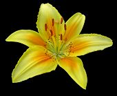 stock photo of stargazer-lilies  - very clean image of stargazer lily - JPG