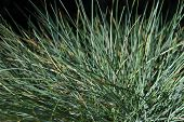 stock photo of fescue  - close - JPG