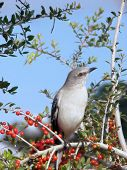 picture of mockingbird  - northern mockingbird sitting on branch of a cotoneaster shrub listening to god - JPG