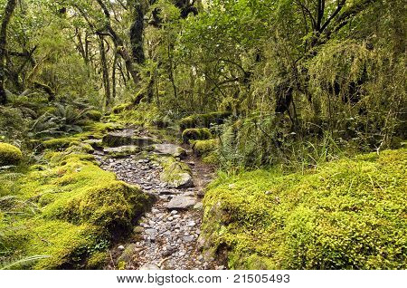 Milford Track - Mossy forest