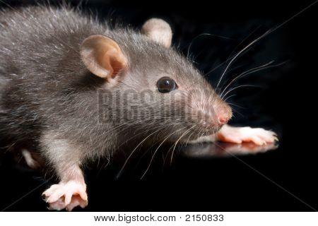 Grey Rat