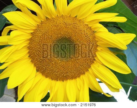 Wide Open Sunflower