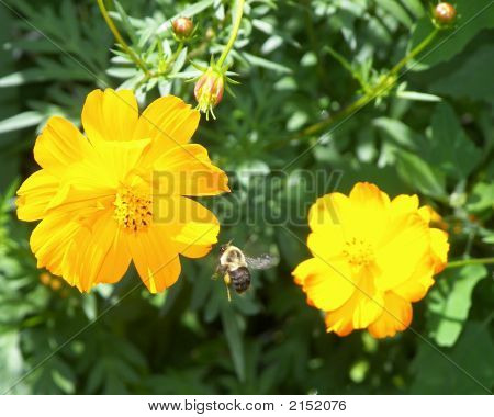 Bee Between 2 Flowers