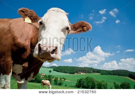 Cow looking at Camera