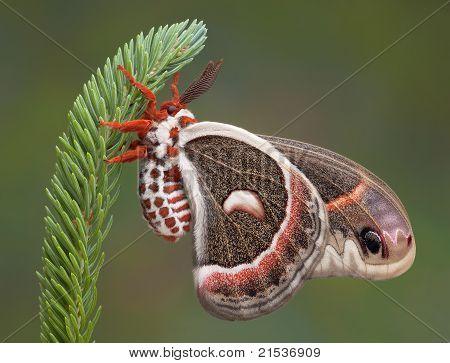 Cecropia Moth On Pine