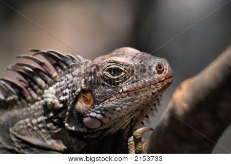 Caribbean Iguana
