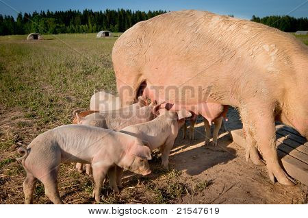 Some Cute Young Pigs Feeding On Mom