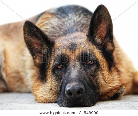 portrait of adult german sheppard